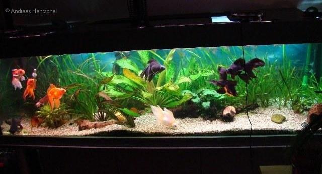 goldfische andreas 39 aquarium. Black Bedroom Furniture Sets. Home Design Ideas