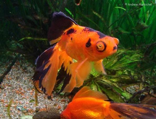 Goldfische andreas 39 aquarium for Aquarium goldfische