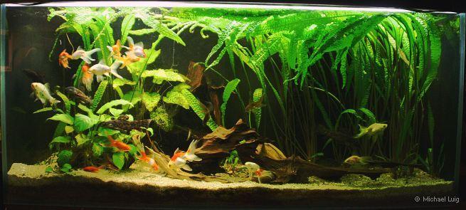 aquarium f r goldfische zuhause image idee. Black Bedroom Furniture Sets. Home Design Ideas