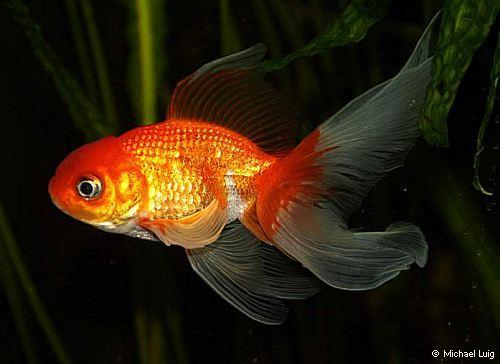 Goldfische michaels aquarium for Aquarium goldfische