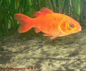 Goldfische mein aquarium for Fische goldfische