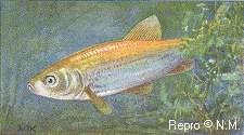 Goldfische beschreibung verwandte for Goldorfe fisch